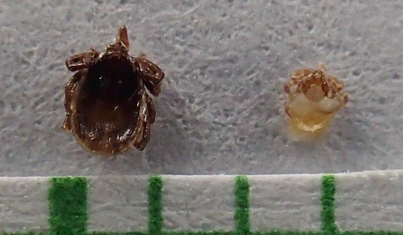 larva a nymfa