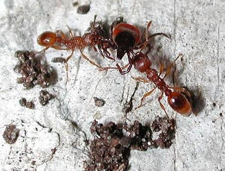 Mravenci napadající klíště